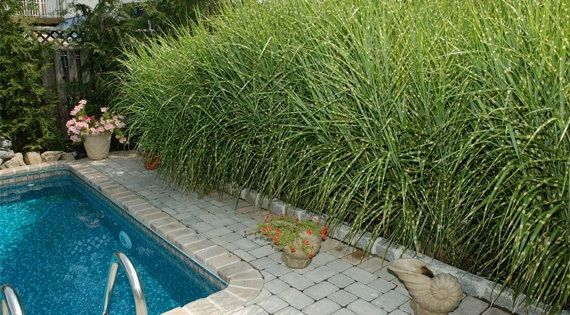 Gorgeous ornamental grasses your landscape will love for Ornamental grass in containers for privacy