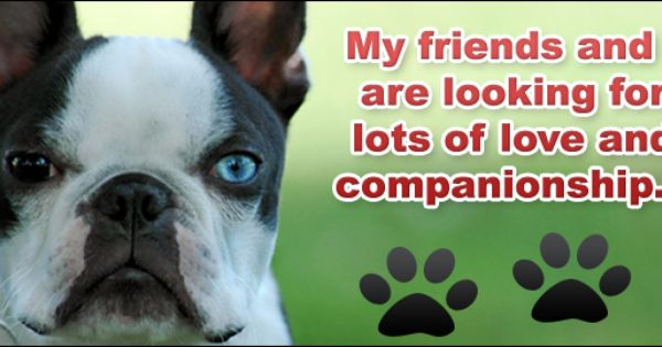 Want A Boston Please Consider Adopting From A Rescue In Ohio