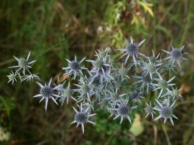 Mikolajek Plaskolistny Byliny Baza Roslin Plants Diy Garden Flowers