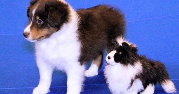 Litter Of 7 Shetland Sheepdog Puppies For Sale In Jacksonville Fl
