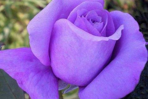 بنفسجي 2016 Photos Word 2016 Purple Roses Flower Arrangements Rose