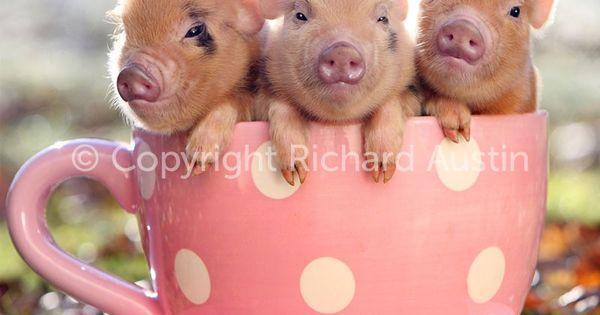 cant wait to get my mini piggie!!