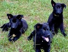 Black Sable German Shepherd Mom With Pups Ddr German Shepherd