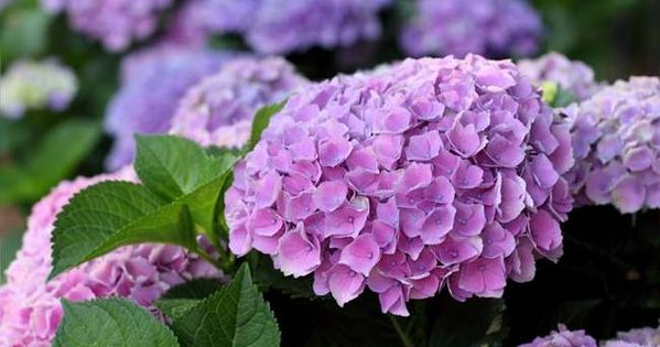 2 change the color of your hydrangeas 20 ways to reuse coffee grounds diy misc - Coffee grounds six practical ways to reuse them ...