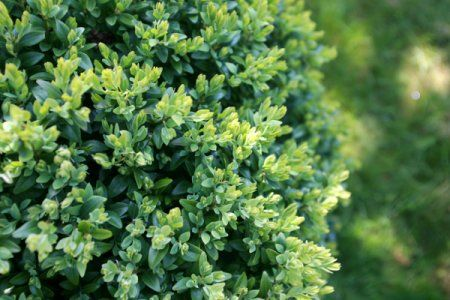 Choosing Companion Plants For Your Boxwood Doityourself Com Companion Planting Boxwood Tree Hedging Plants
