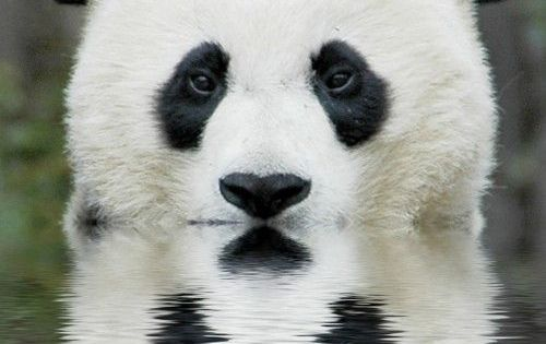 Hello Pandi! peekaboo pandabear animals