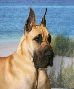 Love Great Danes Donnawoodaman This Great Dane Remands Me Of