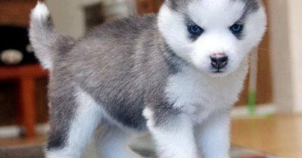 Husky Frases: I'm #50 On Tha Waiting List For A Pomsky Puppy .. I WILL