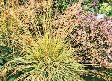 Best ornamental grasses for midwest gardens grasses for Tall ornamental grasses for shaded areas