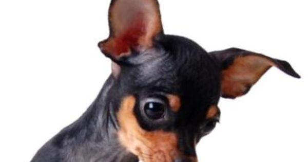 Mini Madchen Welpe Russkiy Toy Russischer Toy Terrier In Baden