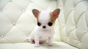 Pick Of The Litter Puppies Just For You Chihuahua Puppies