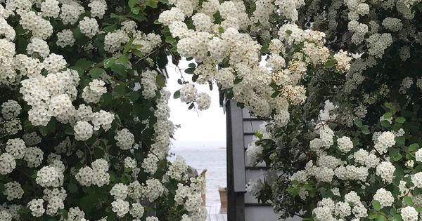 12 Spirea Vanhouttei cuttings hardy perennial