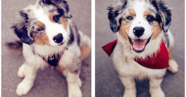 Aussie Shepherd pup