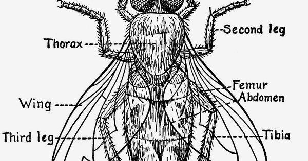fly anatomy