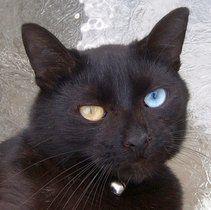 Odd Eyed Black Cat Odd Eyed Cat Wikipedia The Free Encyclopedia Cute Cats Beautiful Cats Cute Animals