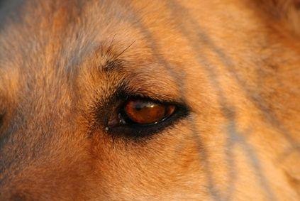 Home Remedies For Cherry Eye In Dogs Cherry Eye In Dogs Eye