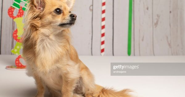 Long Haired Chihuahua At Christmas Posing For The Camera Stock Long Haired Chihuahua Puppy Dog In Front Of A White Background La In 2020 Long Haired Chihuahua Puppies