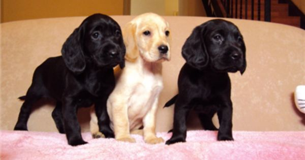 Spanador Labrador Cross English Cocker Spaniel Kingsford Nsw Pets For Sale Cute Animal Pictures Dogs And Puppies English Cocker