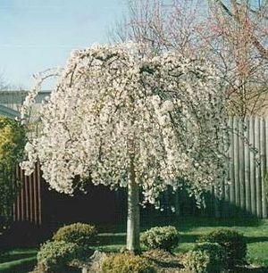 Prunus X Apos Snofozan Apos Snow Fountain Weeping Flowering Cherry Trees To Plant Weeping Cherry Tree Palm Trees Painting