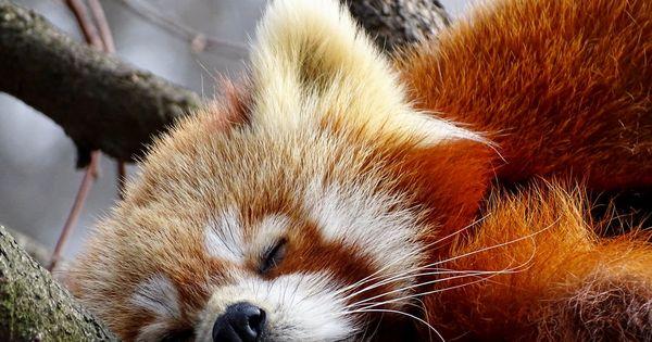 Red Panda By Annacht Deviantart Com On Deviantart Red Panda Cute Animals