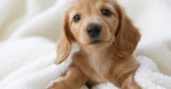 Animals Phots Dachshund Love Cute Animals Dogs