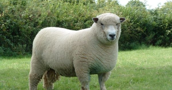 Which Breed Of Sheep Should I Choose Sheep Breeds Barnyard Animals Sheep