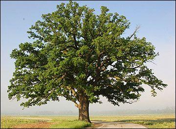 Oak Tree Bur Oak In 2020 Shade Trees Trees To Plant Plants