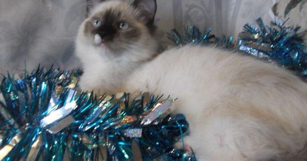 Ragdoll Cat Merry Christmas Ragdoll Kitten Ragdolls For