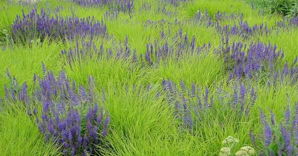 Autumn Moor Grass (Sesleria autumnalis) Zone 5-8 with Salvia. Potters Fields Park,