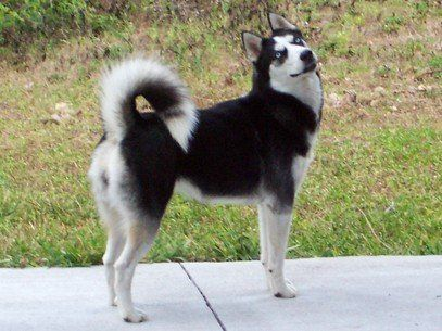 Siberian Husky Black And White With A Black Mask And Blue Eyes