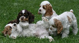 Parti Colored Cocker Puppies Cocker Spaniel Puppies Spaniel Puppies Puppies