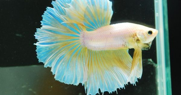 Beautiful betta blue and yellow fish pinterest for Types of betta fish petco