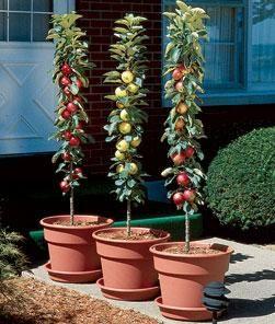 658ed87e429a7a5ef5e5ae575d3eefac - Columnar Fruit Trees For Small Gardens