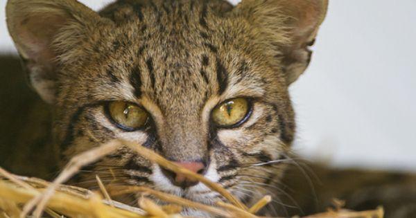 Female Oncilla Portrait Spotted Cat Cat Species Cats