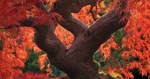 Dragon Tree, Japanese Garden, Portland, Oregon .... a place of freedom