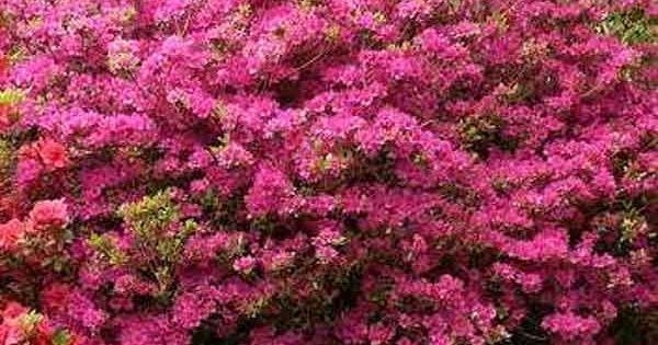 L 39 azalea japonica amoena un arbuste persistant aux - Arbuste japonais persistant ...