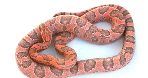 Coral Ghost Corn Snake Corn Snake Snake Pet Snake