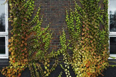 65fc0ff99995f070af5808ecca3a6076 - How To Get A Vine To Grow Up A Wall
