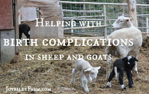 Helping with birth complications in sheep and goats ...
