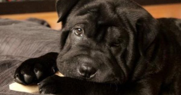 Shar Pei Mix Looks Just Like The Dog I Used To Have Loved Him So