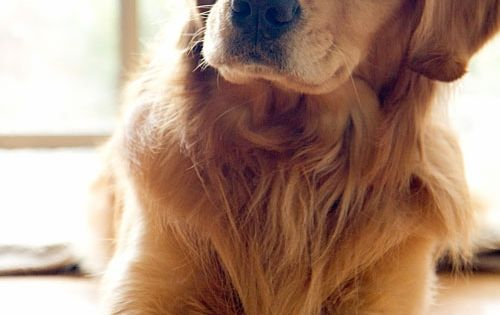 stunning. dog. retreiver. golden. pet. best friend.