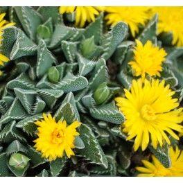Faucaria Tigrina Plantes Grasses Plante Rocaille Plante