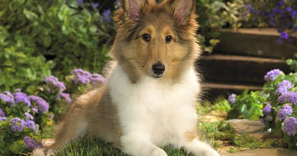 Find Shetland Sheepdog Sheltie puppies for sale and dogs