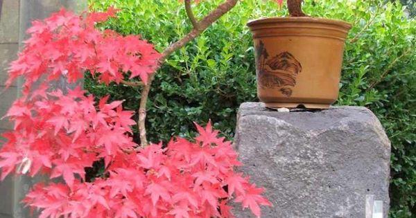 Espèces d' érable du Japon – conseils plantation et entretien ...