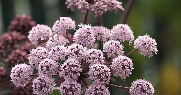 Angelica stricta purpurea - From Annie's Annuals