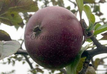 Black Oxford Apple Tree For Sale From Orange Pippin Apple Tree Black Oxfords Growing Apple Trees