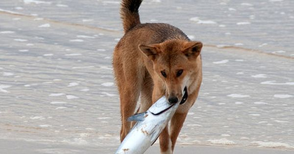 Which Dogs Are Known To Eat Fish Dogs Dingo Crazy Animal Facts