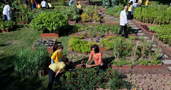 White House vegetable garden: First lady Michelle Obama, chefs and children harvest