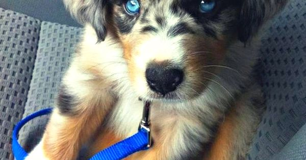 Golden Retriever & Siberian Husky mix cutest dog I have ever seen