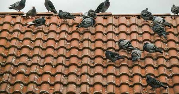 Pigeonroofdamage With Images Get Rid Of Pigeons Pigeon
